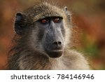 baboon sitting next to the road ... | Shutterstock . vector #784146946