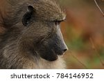 baboon sitting next to the road ... | Shutterstock . vector #784146952