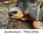 portrait of radiated tortoise... | Shutterstock . vector #784213906