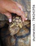 baby tortoise on the hands of... | Shutterstock . vector #784241956