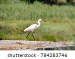 great egret  ardea alba   Shutterstock . vector #784283746