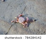 purple shore crab with a piece... | Shutterstock . vector #784284142