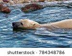 the polar bear  ursus maritimus ...   Shutterstock . vector #784348786