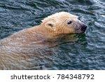 the polar bear  ursus maritimus ...   Shutterstock . vector #784348792