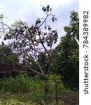 Small photo of a fruitless fruitless tree of kedondong