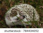 Pet African Pygmy Hedgehog...