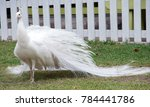 White Peacock  Bride Like ...