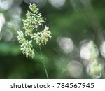 cock's foot  dactylis glomerata ...   Shutterstock . vector #784567945