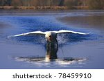 arrival of a large male swan   Shutterstock . vector #78459910