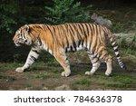 siberian tiger  panthera tigris ... | Shutterstock . vector #784636378