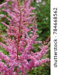 Small photo of Spring garden with flowering astilbe plant.