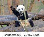 giant panda near chengdu ...   Shutterstock . vector #784676236