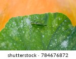 Small photo of Great green bush cricket sitting on pumpkin leaf. Big grasshopper tettigonia cantans female. Central composition