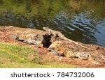 green iguana  scientifically... | Shutterstock . vector #784732006