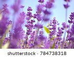 lavender bushes closeup on... | Shutterstock . vector #784738318