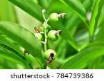 Small photo of Alpinia mutica (shell ginger, Orchid Ginger, Narrow leaved Alpinia) ; Bright of Round greenish fruits on long bouquet. Harmony & increased prominence by large & long green leaves. reflex to sunlight.