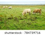 Cattle Grazing In A Pasture...