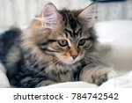 Stock photo adorable cute fluffy purebred siberian kitten brown black and white concepts of family pet 784742542