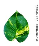 Small photo of Green leaf of Golden pothos. Scientific name Scindapsus aureus.Green leaf on white background.Saved with clipping path. The species Araceae is distributed throughout the world.