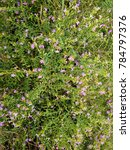 Small photo of False heather, Elfin herb with purple, pink or white flowers, a single flower at the end of the branch. Green calyx
