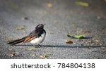 willie wagtail  birdwatching ...   Shutterstock . vector #784804138