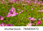 purple pink  cosmos flowers in... | Shutterstock . vector #784830472