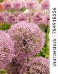 Small photo of Pink/Lilac Pinball Allium Flower Head