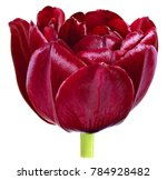 Small photo of one dissolute Bud Tulip flower dark red close-up isolated on white
