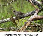 sharp beaked ground finch ... | Shutterstock . vector #784962355