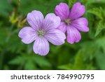 Purple Flowers Of Wild Geraniu...