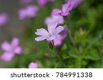 purple flowers of wild geranium ... | Shutterstock . vector #784991338