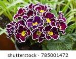 Purple Primrose  Primula...