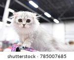 a highland fold kitten | Shutterstock . vector #785007685
