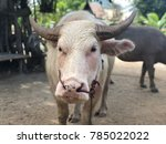 Small photo of Rare albinoid buffalo