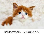 Stock photo little cute kitten maine coon looks 785087272