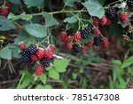 growing blackberries. harvest | Shutterstock . vector #785147308