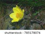 Small photo of Pulsatilla alpina subsp. apiifolia commonly known as alpine pasqueflower or alpine anemone