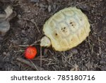 elongated tortoise in nature ... | Shutterstock . vector #785180716