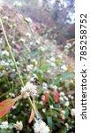 Small photo of Alternanthera nahui plants