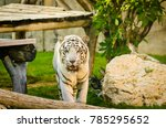 scary looking huge white tiger... | Shutterstock . vector #785295652