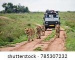 lionesses walk along the road... | Shutterstock . vector #785307232