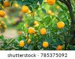 kumquat tree. together with... | Shutterstock . vector #785375092