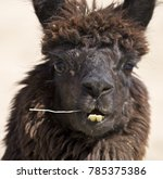a funny llama looking at the... | Shutterstock . vector #785375386