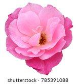pink rose valentine rose | Shutterstock . vector #785391088