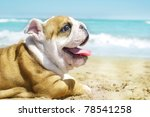 Stock photo english bulldog puppy at the sea 78541258