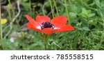 Red Crown Anemone  Anemone...