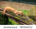 the stoat  also known as the... | Shutterstock . vector #785564212