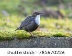 white throated dipper in... | Shutterstock . vector #785670226