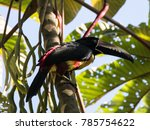 coloured collared aracari ... | Shutterstock . vector #785754622