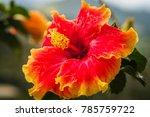tropical flower found in... | Shutterstock . vector #785759722